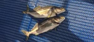 1008fish